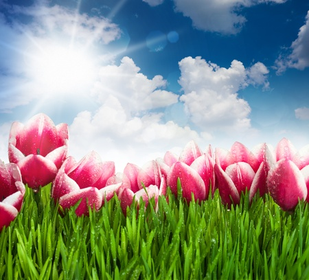 Beautiful  Pink Tulip Flowers and Grass against  blue Sky and Sun / with copy space Stock Photo - 14030102