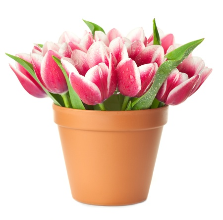 pot: Flower Pot with pink Tulips  water drops  isolated on white background