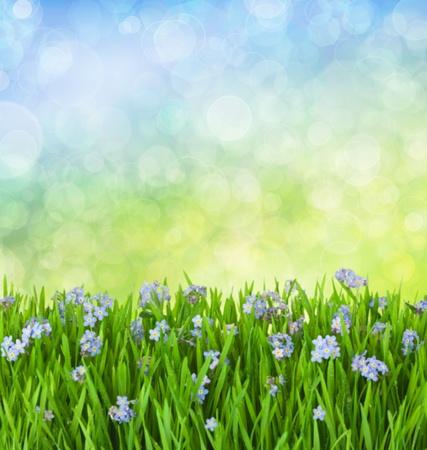 champ de fleurs: Myosotis Fleurs bleues dans l'herbe verte avec Gouttes d'eau sur fond d�focalis�
