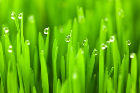 Fresh green wheat grass with drops dew / macro background Stock Photo - 14158387