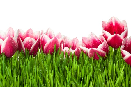 water  panoramic: Fresh Tulip and green Grass with drops dew   isolated on white with copy space Stock Photo