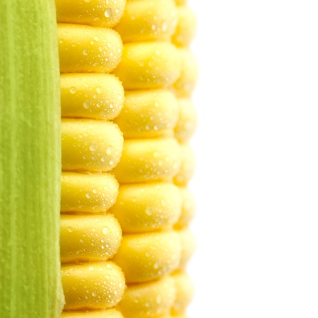 ear corn: Los granos de ma�z maduro con gotas de agua  espacio Extreme copia Macro  aislado  a para el texto