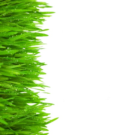 blades of grass: Fresh Green  Grass with Drops Dew  isolated on white with copy space