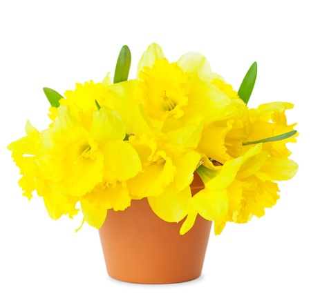 Beautiful Yellow Daffodils in flowerpot isolated on white   Spring Narcissus flowers