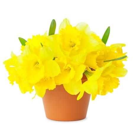 Schöne Gelbe Narzissen im Blumentopf auf weißem Frühling Narcissus Blumen isoliert