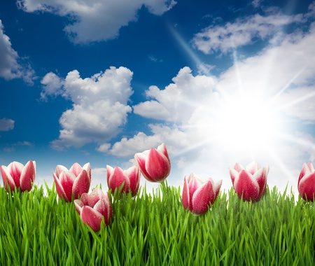 Grass and Pink Tulip Stock Photo - 17567426