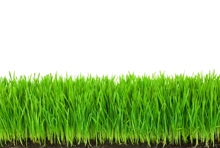 blade of grass: Green  Grass with Fertile Soil and Drops Dew   isolated on white with copy space Stock Photo
