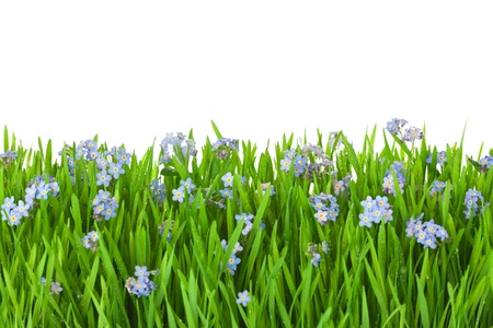forget-me-not blue flowers into green grass with water drops  isolated on white background photo