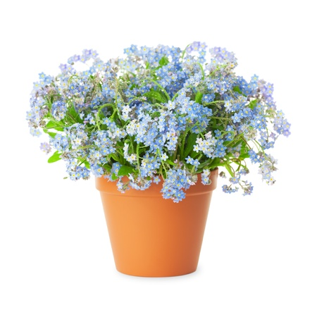 flower vase: Forget-me-not flowers in pot isolated  isolated on white background