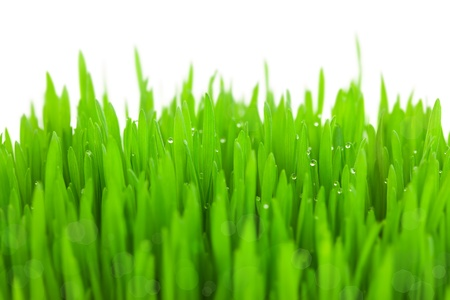 Fresh green wheat grass with drops and bokeh  / isolated on white with copy space Stock Photo - 18574446