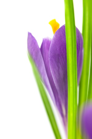 Crocus Flower   Super Macro background with  copy space  focus on foreground photo