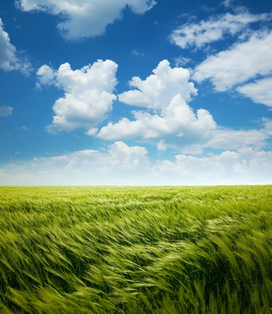 Greed Wheat Field and Blue Sky with White Clouds Stock Photo