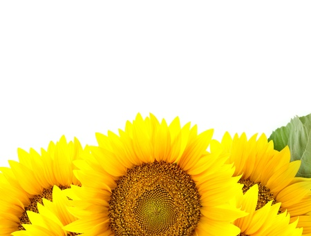 Border of large Sunflowers with  One green leaf   flowers frame photo