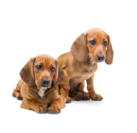 Two Dachshund Puppies  Isolated on white photo
