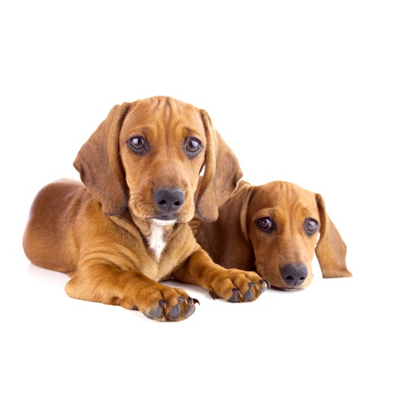 Two Dachshund Puppies sitting  Isolated on white photo