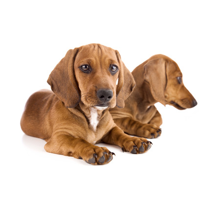 Two cute Dachshund Puppies   Isolated on white background photo