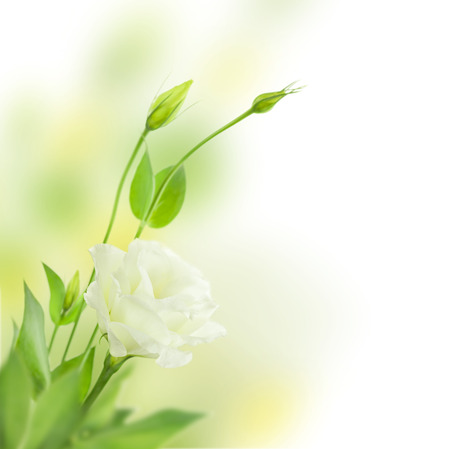 Delicate White Flowers with Buds   isolated on white background with copy space   Eustoma   Lisiantus   photo