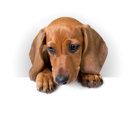 cute Dachshund Puppy with white banner for text   copy space   Isolated  photo