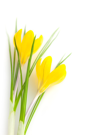 Beautiful Yellow Spring Flowers isolated on white background  Crocus photo