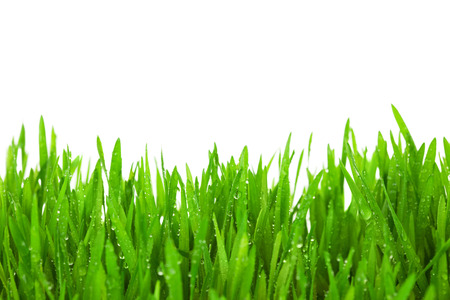 blade of grass: Fresh Green  Grass with Drops Dew   isolated on white with copy space
