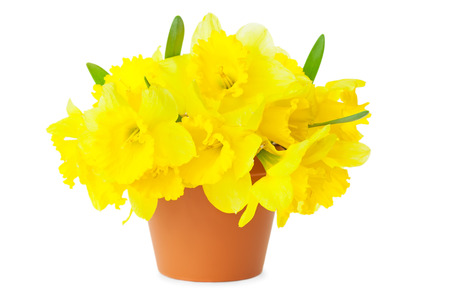 Yellow Narcissus   Daffodils   in Flower Pot   isolated on white photo