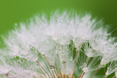 pappus: Tender White Dandelion seed with water drops  -  green background