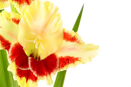 Fresh bright red and yellow gladiolus isolated on white background \\ horizontal photo