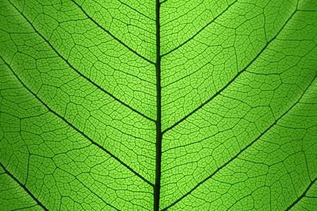 dried leaf: Background of Green Leaf cell structure - macro shot, natural texture