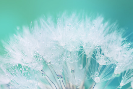 Tender White Dandelion seed with water drops  - soft and light background photo