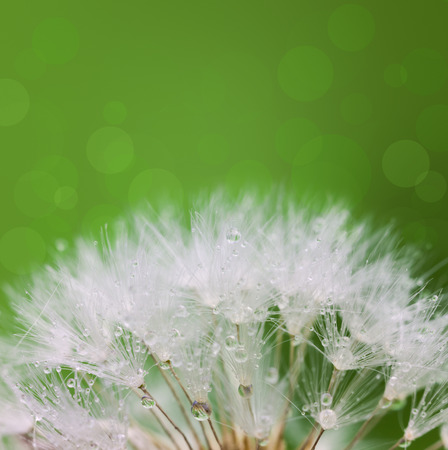 pappus: White Dandelion seed with water drops over green background and defocused rounds Stock Photo