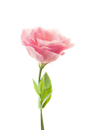 roses petals: Pure romantic pink rose with fresh leaves isolated on white Stock Photo