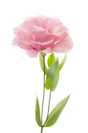 Fresh pink rose flower isolated on white photo