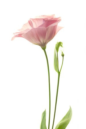 pink and green: Beautiful fresh pink rose flower isolated on white background Stock Photo