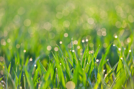 Fresh Grass with drops of dew in light -  green ecology background, focus on the front photo