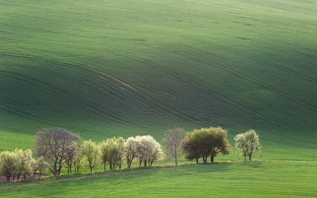 Green and Blossom Trees overlooking rolling hills with fields in sunset light suitable for backgrounds or wallpapers, natural minimalism landscape photo