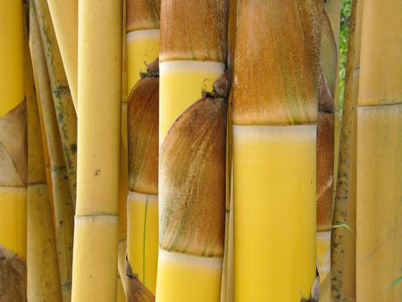 clump: Clump of bamboo stems from Thailand