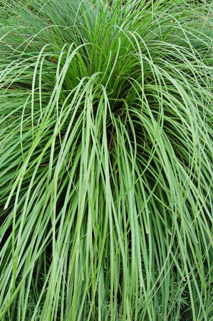 arching: Tussock of arching grass Stock Photo