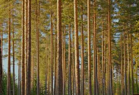 perpendicular: Legno di pino in Finlandia Archivio Fotografico