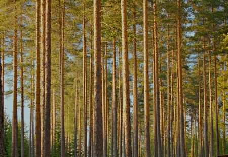 backwoods: Pine wood in Finland