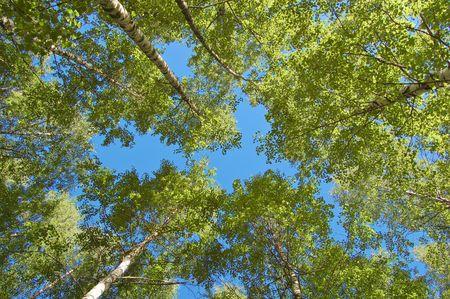 finland�s: Plantaci�n de abedul finland�s