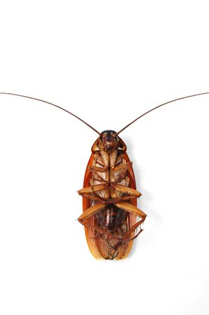 gruesome: Cockroach underside with clipping path Stock Photo