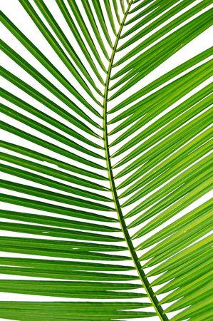 palm frond: Isolato di close-up di una fronda di palma