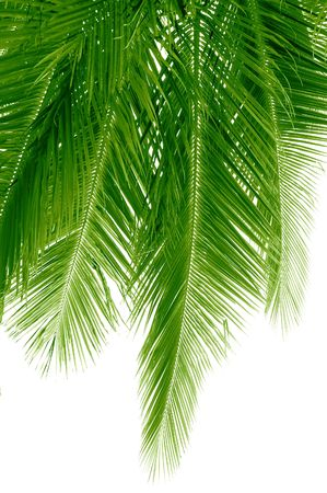 Long and green coconut palm fronds hanging down photo
