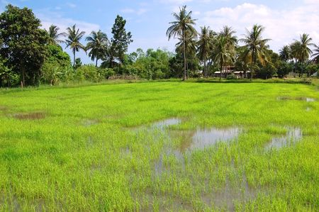 Freshly transplanted paddy field rice in Thailand photo