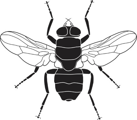 nuisance: Vector illustration of a common fly Illustration
