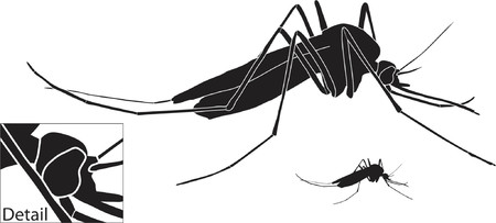 Vector illustration of a mosquito with basic outline included Vector