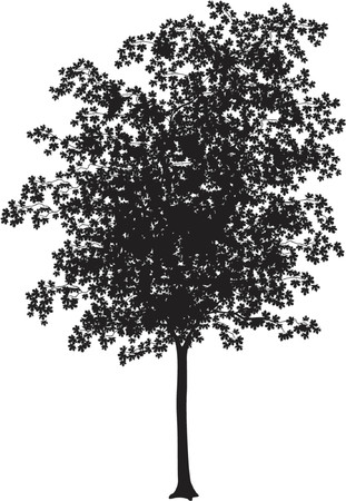 Detailed vector illustration of a young maple tree silhouette