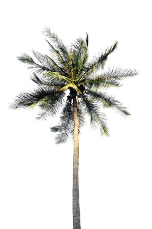 Isolated coconut palm tree blowing in the breeze Stock Photo - 4788190