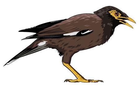 common myna bird: a common myna bird from southeast asia