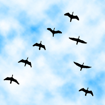 cloud formation: Editable vector illustration of a cormorant flock flying overhead with sky background made with a gradient mesh